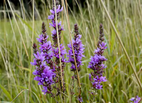 purple-loosestrife-blooming-meadow-260nw