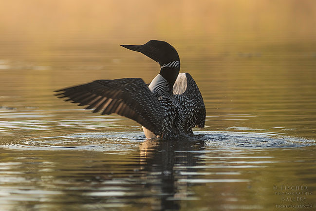 Dancing Loon-Ryan Tischer.jpg