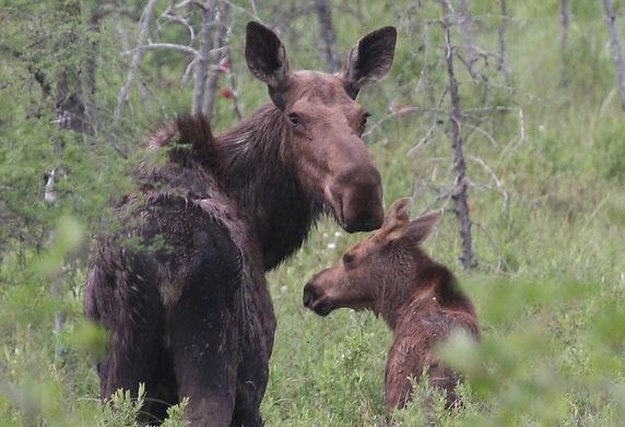 Moose Pair.JPG