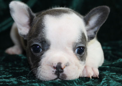Neises French Bulldogs - Olivia