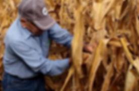 Hand pick corn screen shot.jpg