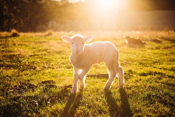 "Sermon: ""The Lamb of God"""