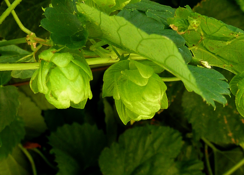hops-2676766_1920.jpg