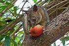 possum eating apple