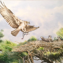 Osprey and chicks