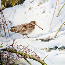 Woodcock in the snow