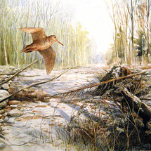 Woodcock in Turnham Wood