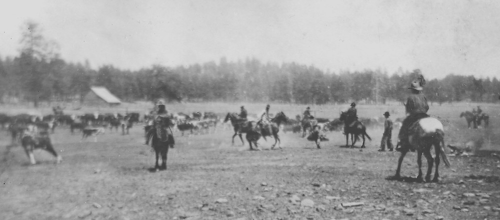 Munds Park history. Working Cattle at Clay Park - Photo courtesy of Sedona Historical Society. The Pinewood News.