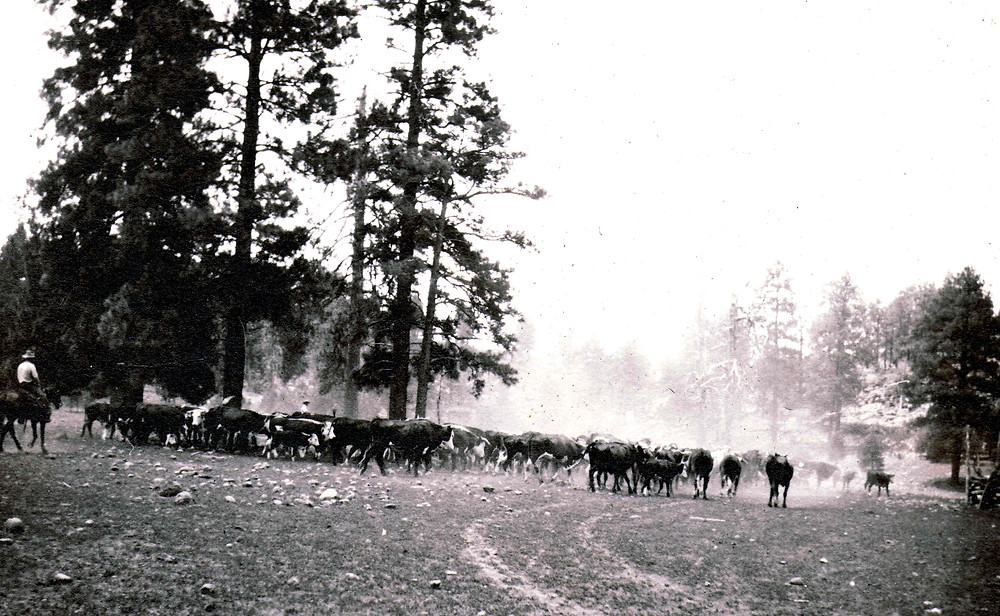 Munds Park History. Cattle drive at the mouth of Woods Canyon. The Pinewood News.