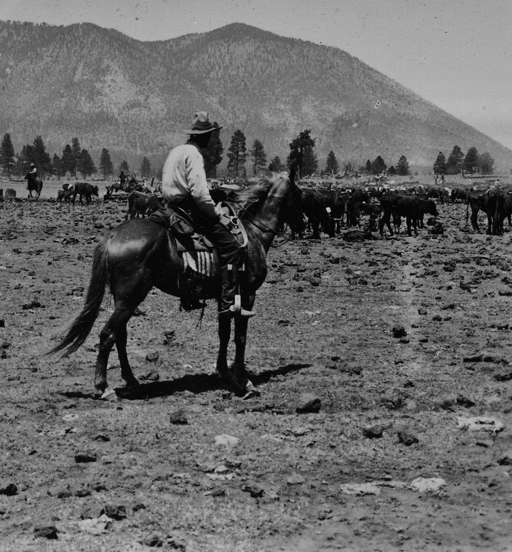 Munds Park History. Holding cattle near the Flagstaff Shipping Corrals. The Pinewood News.