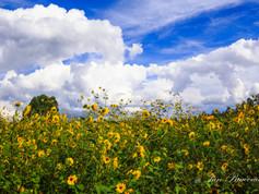 Summer Sunflower Fields in Munds Park