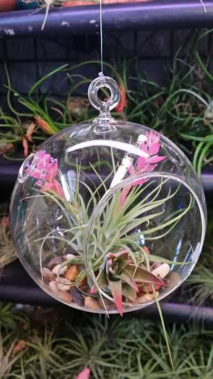 "6"" Round Glass Globe/Flat Bottom and 2 Air Plants"