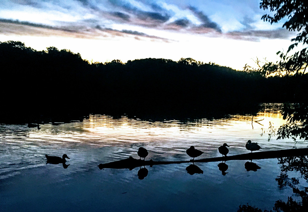 Ducks in the Mirror / Scioto River / Columbus Ohio