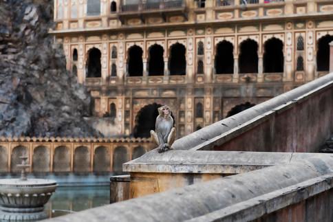 Monkey temple Jaipur India