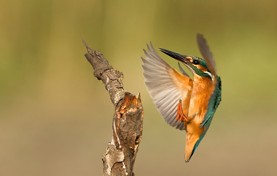Little Kingfisher , Israel