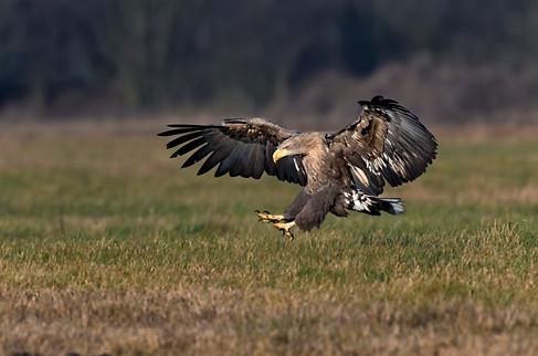 white tailed eagle , Poland