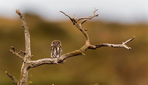Pygmy owl, Chile