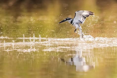 pied kingfisher , Israel