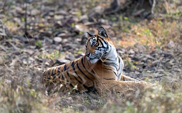 Nor,Female Tiger , India