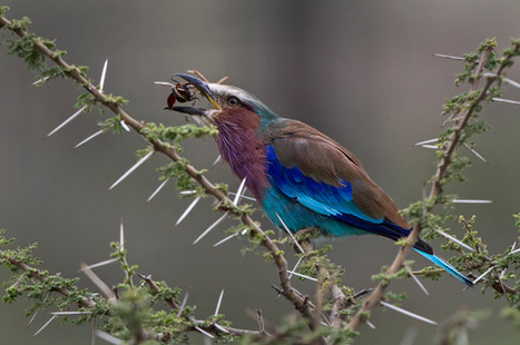 Roller , Tanzania