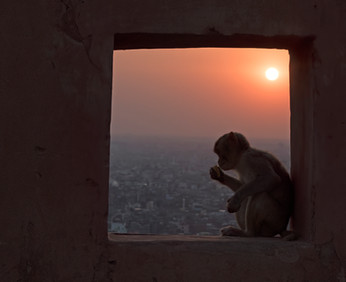 Monkey Temple Jaipur USA