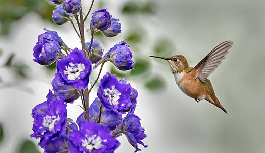 Humming Birds , Canada