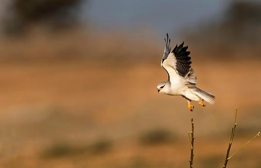 black shoulder kite , Israel