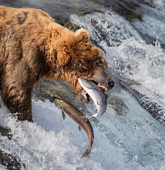 Bears of Katmai , Alaska