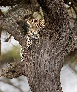 African leopard , Tanzania