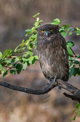 brown fish owl , India