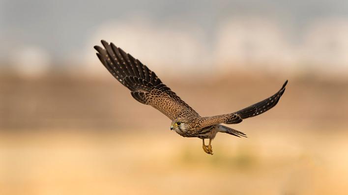 Common  Falcon , Israel