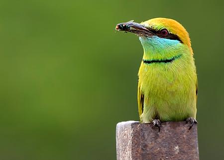 Bee eater , Agra , India