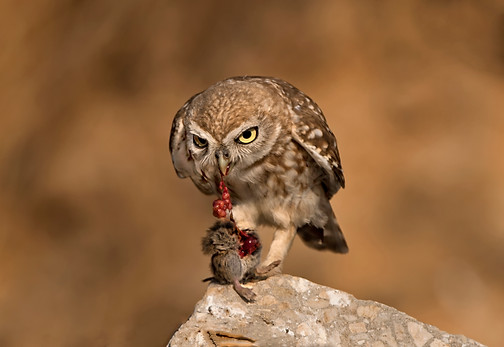 little owl with a pray , Israel
