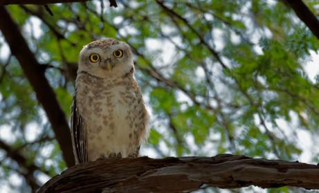 Little Owl , India