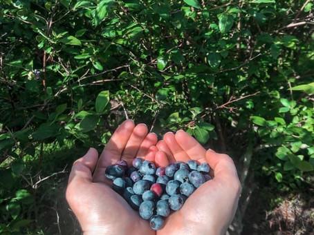 Blueberries PYO