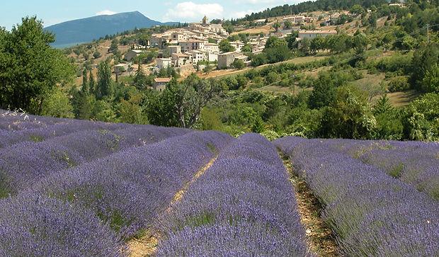 Lavande - Pays de Sault - Provence