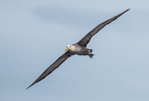 Waived Albatross