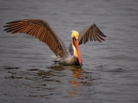 Bolsa Chica Pelican 2a.jpg