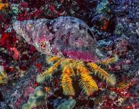 Hermit Crab, Hawaii