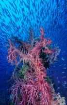 Soft Coral on davit, Fujikawa Maru, Truk Lagoon