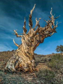 Dead Bristlecone Pine, White Mountains, CA