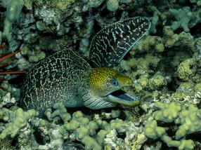Undulated Moray Eel, Hawaii