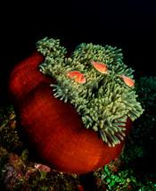 Anemone and fish, Truk Lagoon