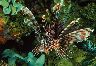 Lion Fish, Truk Lagoon