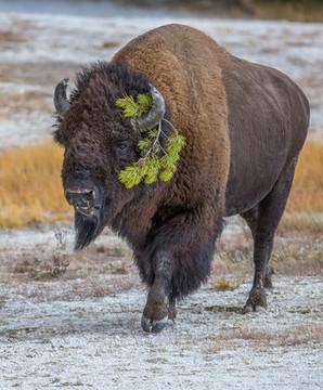 Buffalo, Yellowstone NP