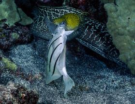 Undulated Moray Eel and Tang, Hawaii