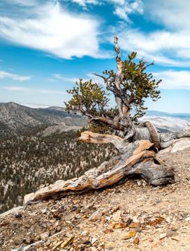 Bristlecone Pine, White Mountains, CA
