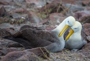 Waived Albatrosses