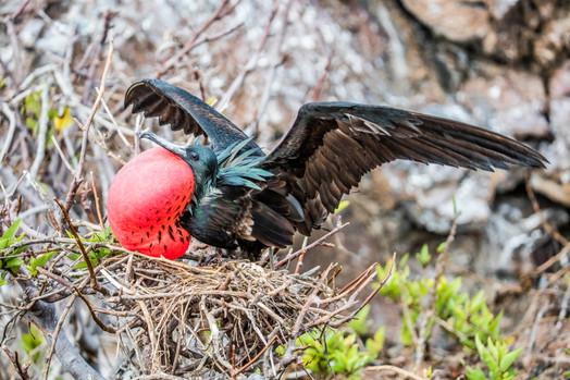 Great Frigatebird - Inflated Throat Pouch