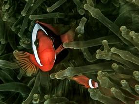 Tomato Anemonefish, Truk Lagoon